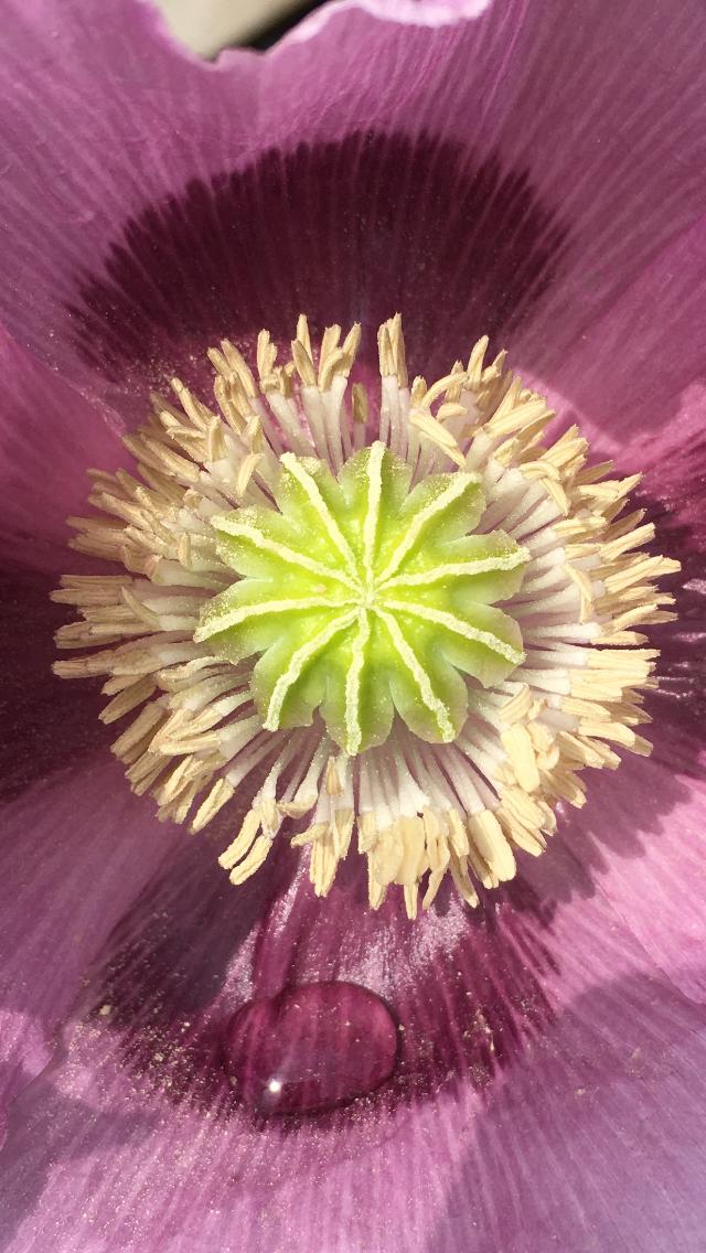 Poppy close-up